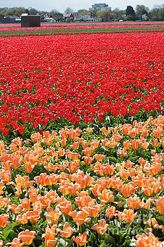 Red and peach tulips under cultivation in Lisse Holland by Louise Heusinkveld