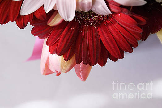 Red and pink gerberas and tulips by Cindy Garber Iverson