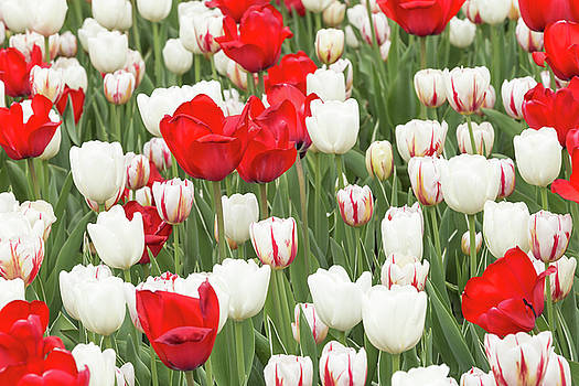 Red and White by Josef Pittner