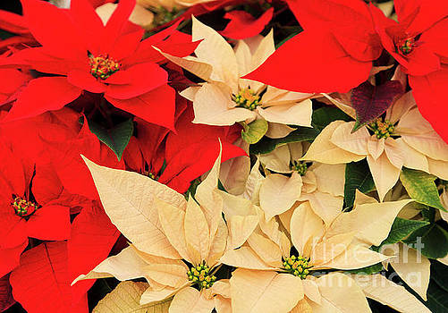 Jill Lang - Red and White Poinsettias for Christmas