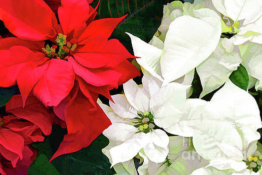 Regina Geoghan - Red and White Poinsettias