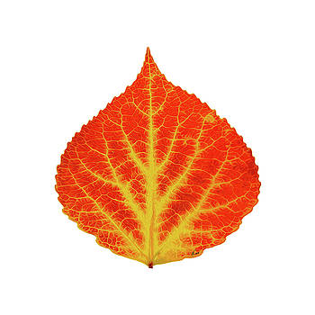 Red and Yellow Aspen Leaf 10 by Agustin Goba