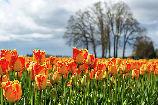 Red and Yellow Color Tulips by David Gn