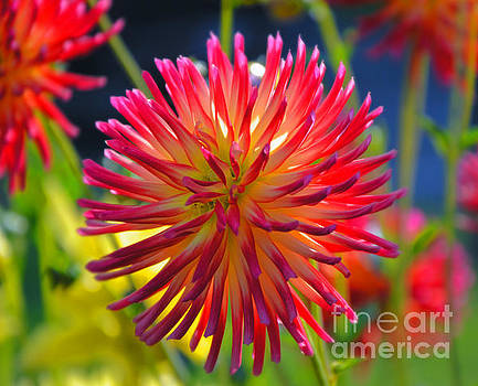 Red and Yellow Dahlia by Frank Larkin