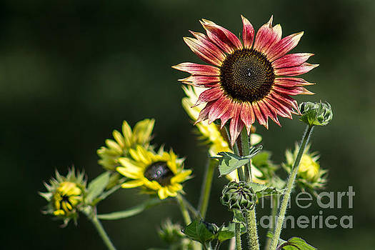 Red and Yellow Sunflowers by Marj Dubeau