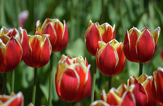 Red and Yellow Tulips by Jesse MacDonald