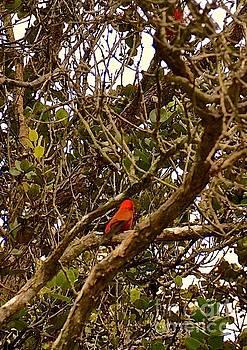 Red Apapane  by Lehua Pekelo-Stearns