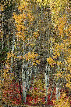 Red Aspen Forest Wilderness Floor by James BO Insogna