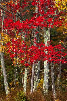 Karol Livote - Red Autumn