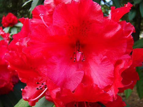 Baslee Troutman - RED AZALEAS Flowers 4 Red Azalea Garden Giclee Art Prints Baslee Troutman