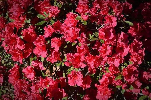 Frank Wilson - Red Azelea Cluster