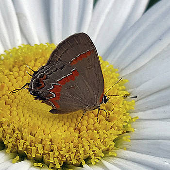Red-Banded Hairstreak by Amy Jo Garner