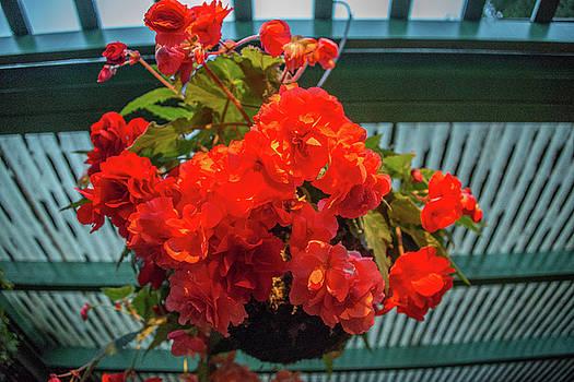 Red begonia hanging planter at dusk by Michael Bessler