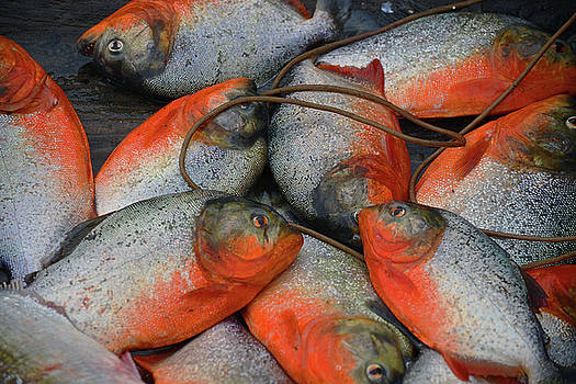 Harvey Barrison - Red Bellied Piranha