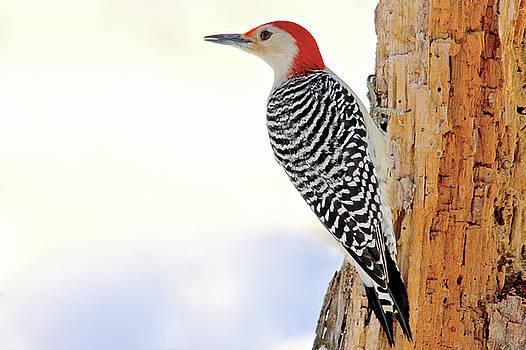 Red Bellied Woodpecker by Carolyn Wright