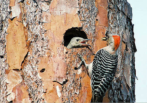 Red-bellied Woodpecker Feeding Young by Richard Nickson