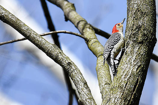 Red-bellied Woodpecker by Gary Wightman