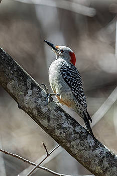 John Haldane - Red-bellied Woodpecker in Late Afternoon