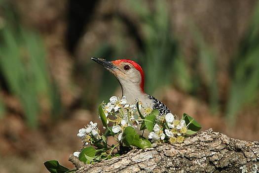 Red-bellied Woodpecker in Spring by Sheila Brown
