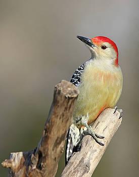 Red-Bellied Woodpecker by Jim Nelson