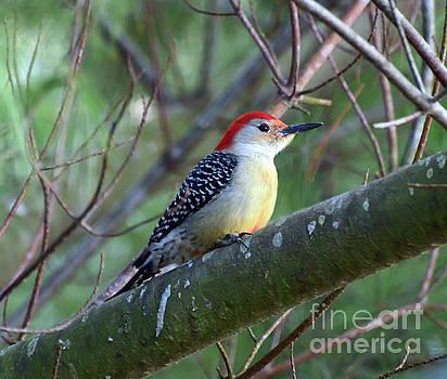 Red-bellied Woodpecker - Male by Kerri Farley