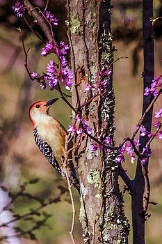 Lisa Lemmons-Powers - Red Bellied Woodpecker on a Red Bud