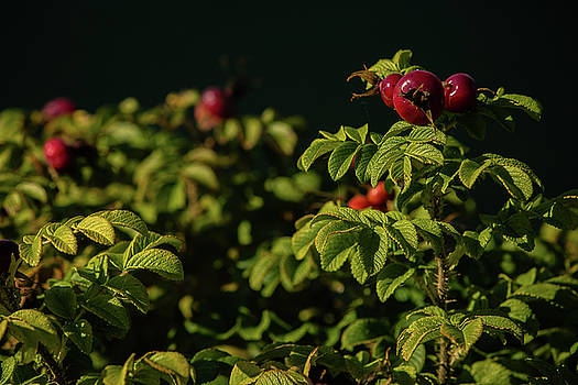 Red Berries by Monte Arnold