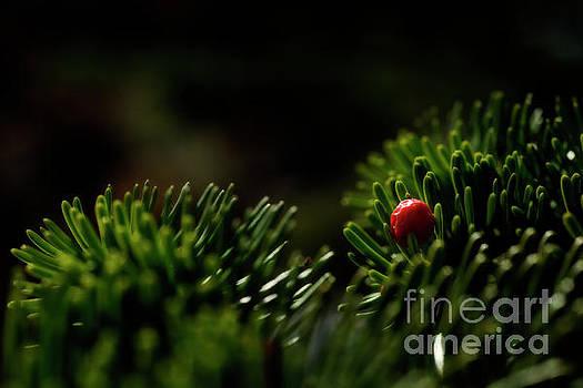 Dan Friend - Red berry in evergreen tree