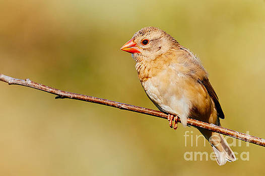Red-billed Quelea in a forest by Nick  Biemans