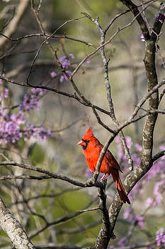 Lisa Lemmons-Powers - Red bird in a tree