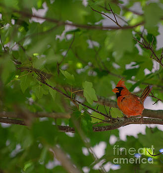 Dale Powell - Red Bird in Tree
