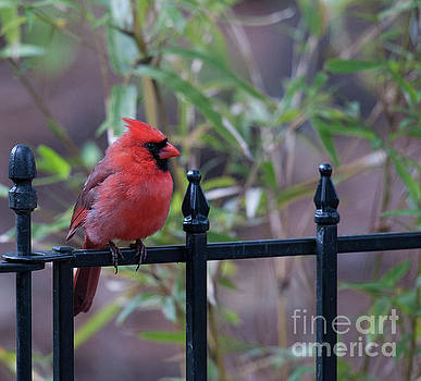 Dale Powell - Red Bird on a Iron Fence