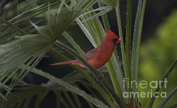 Dale Powell - Northern Red Cardinal in Palm