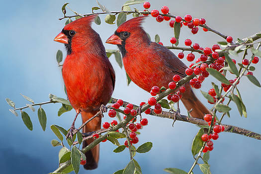 Red Birds in Red Berries by Bonnie Barry