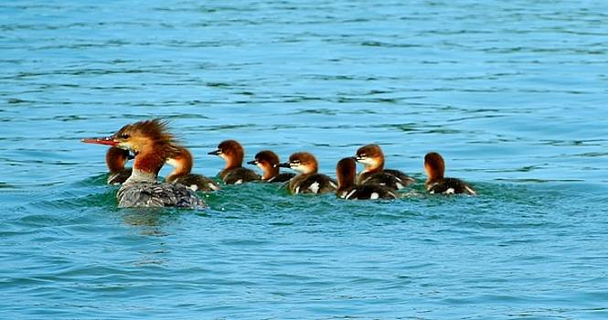 Red-Breasted Merganser Female with Babies by Mikel Classen