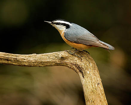 Red-breasted Nuthatch by Bob Stevens