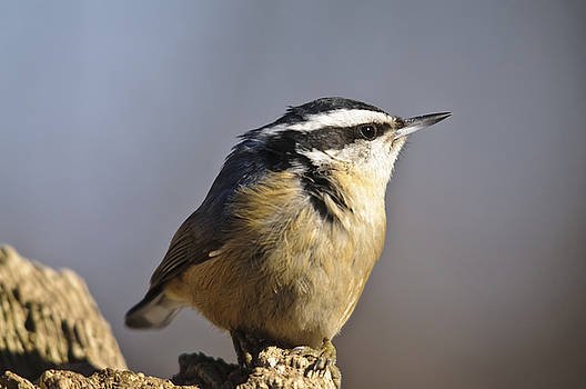 Christine Kapler - Red Breasted Nuthatch