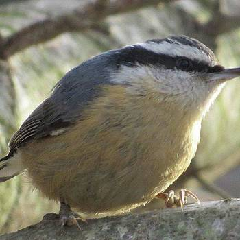 Red-breasted Nuthatch Posing By Tammy by Tammy Finnegan