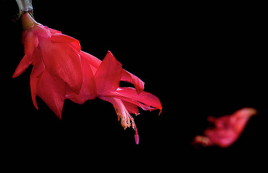 Michalakis Ppalis - Red cactus flower