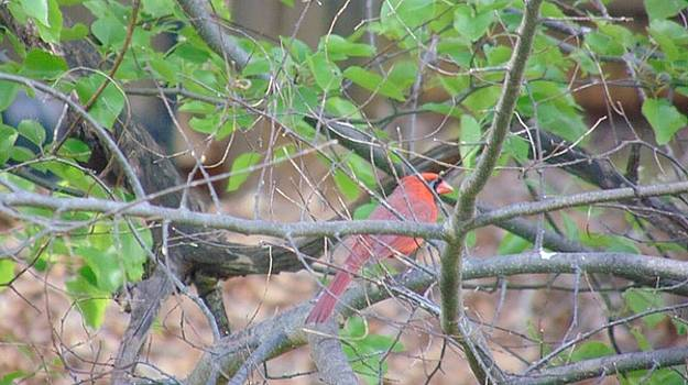 Red Cardinal by Charlotte Gray