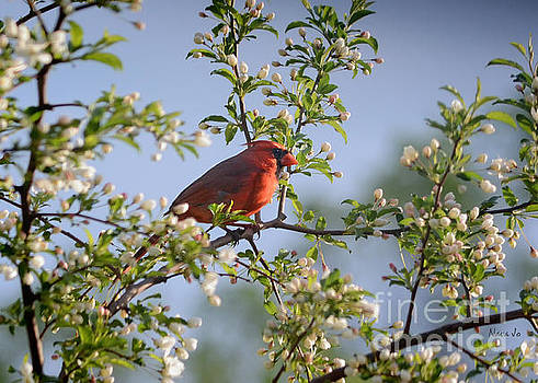 Red Cardinal Flowering Tree by Nava Thompson