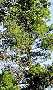 Red Cardinal in Tree by Janet K Wilcox