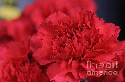 Red Carnation by Dot Lestar Roberts