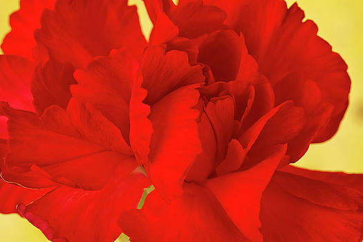Sandra Foster - Red Carnation Macro