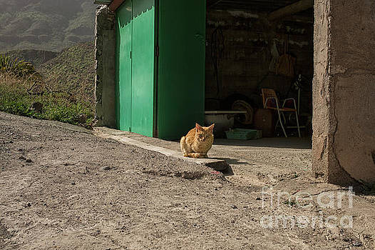 Red cat and green shed by Patricia Hofmeester
