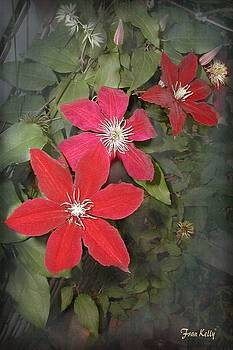 Fran Kelly - Red Clematis