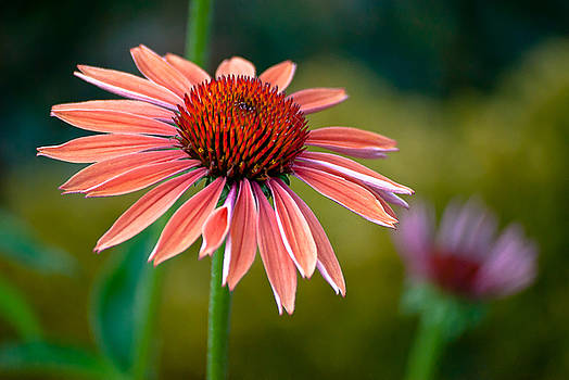 Red Cone Flower by Emerald Studio Photography