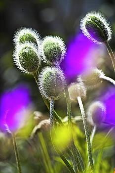 Heiko Koehrer-Wagner - Red Corn Poppy Bud and purple dots