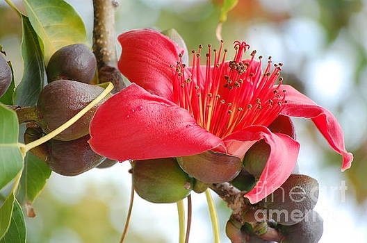 Red Cotton Tree 2 by Robert Meanor