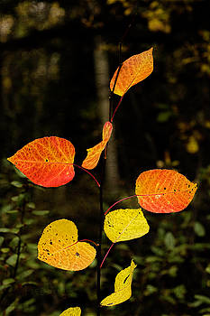 Red Cottonwood Leaves by Fred Denner